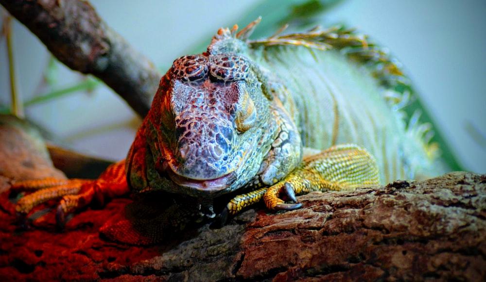macro photography of green bearded dragon