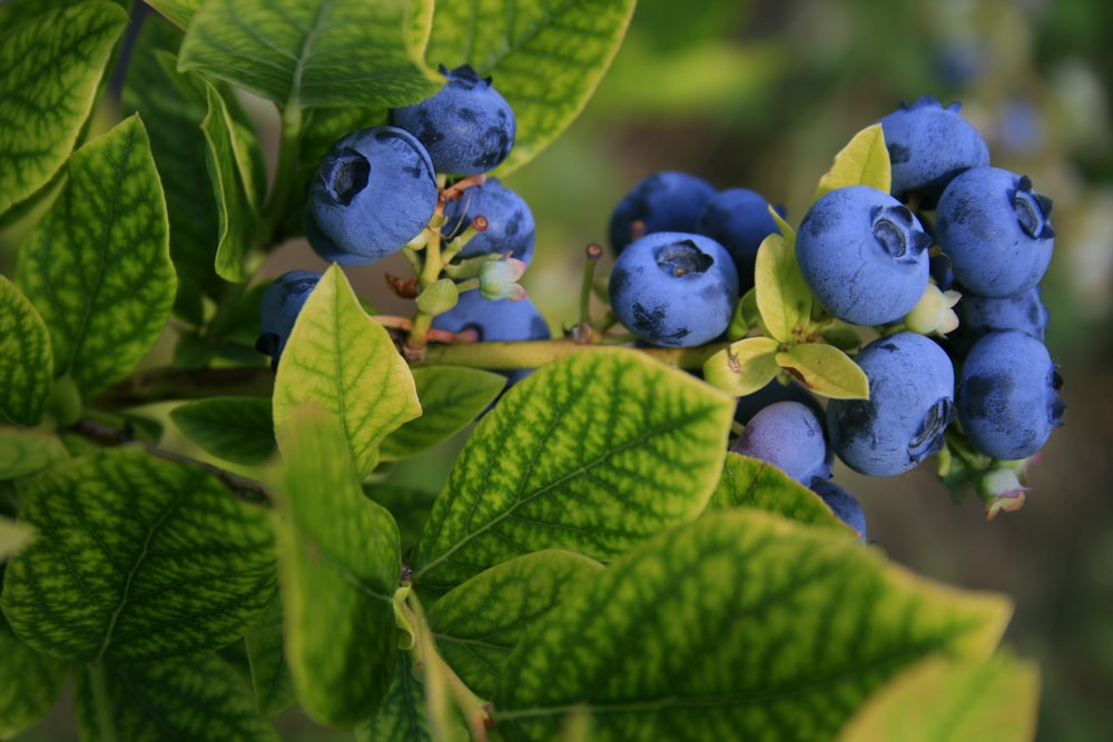 selective focus photography of blue berries