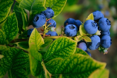 selective focus photography of blue berries blueberry zoom background