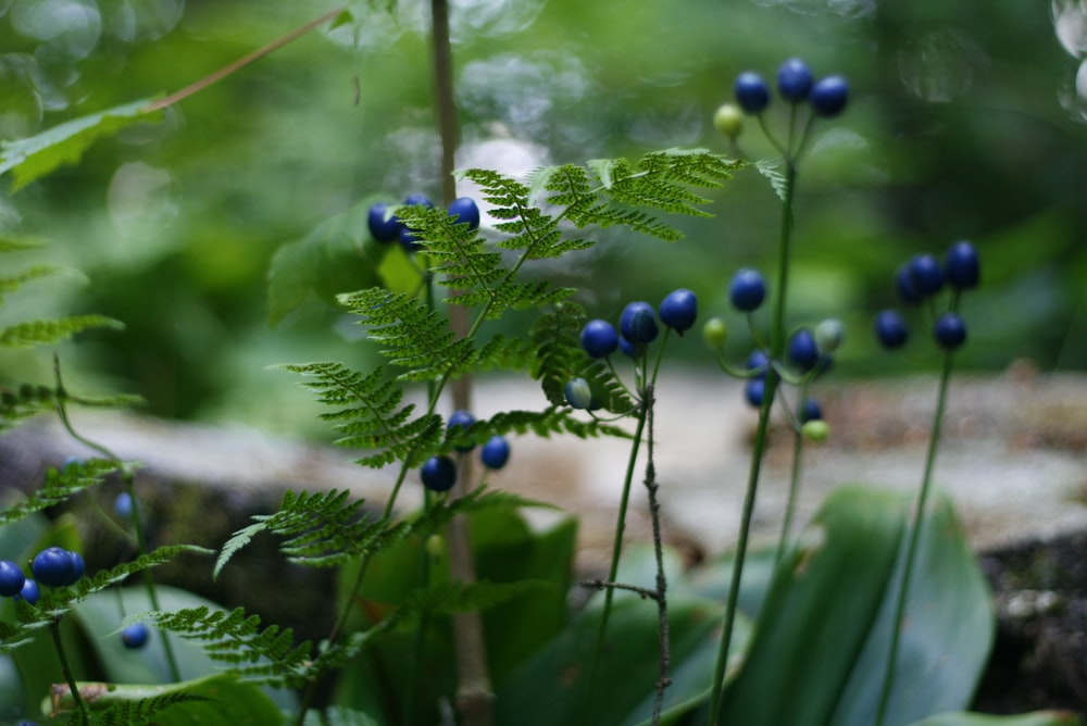 green-leafed plant with blue fruits