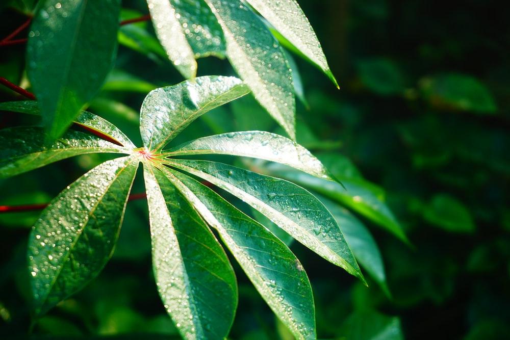 green umbrella plant