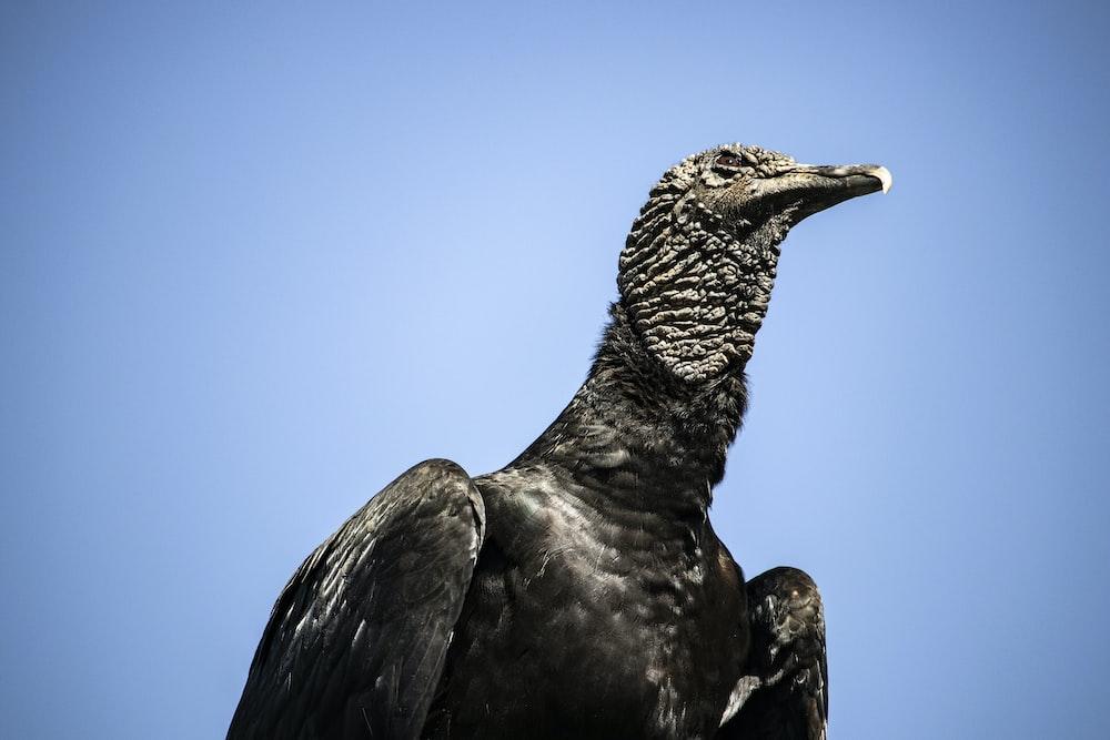 macro photography of black eagle