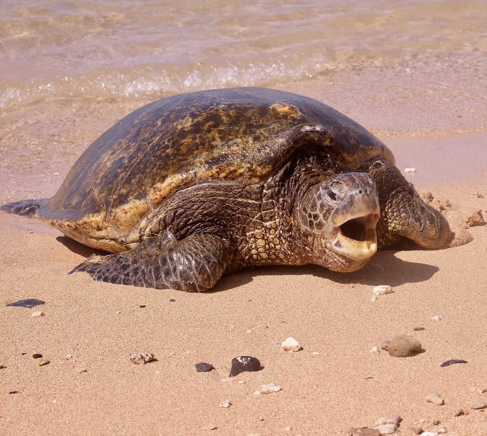 brown seaturtle on shore
