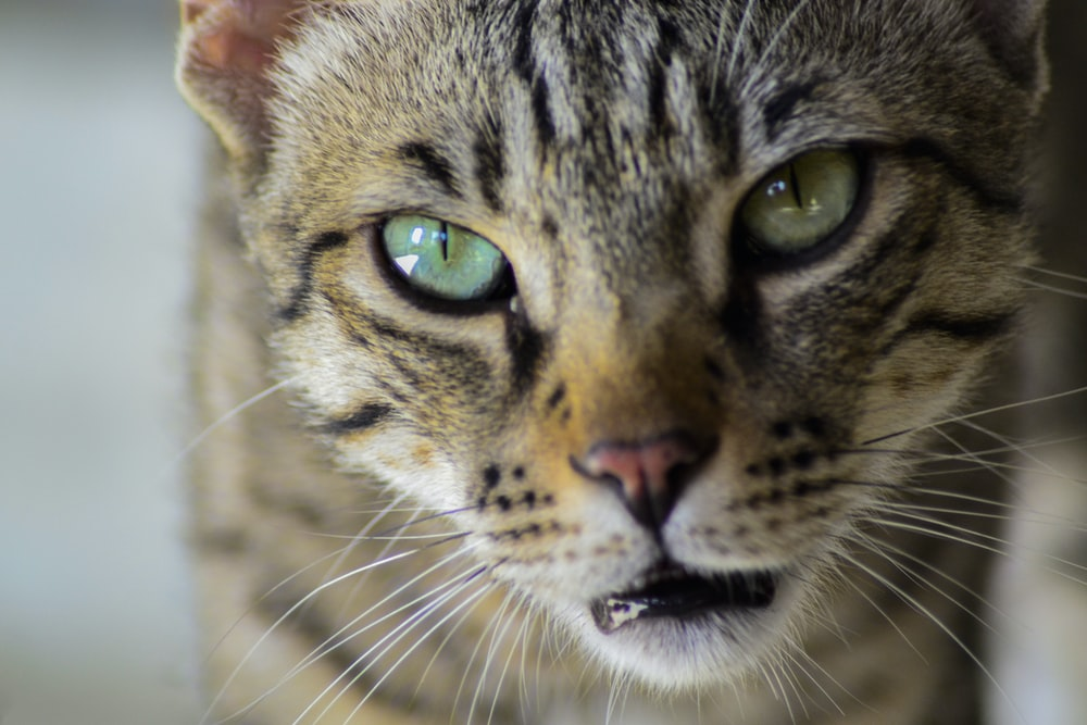 gray tabby cat in close-up photo