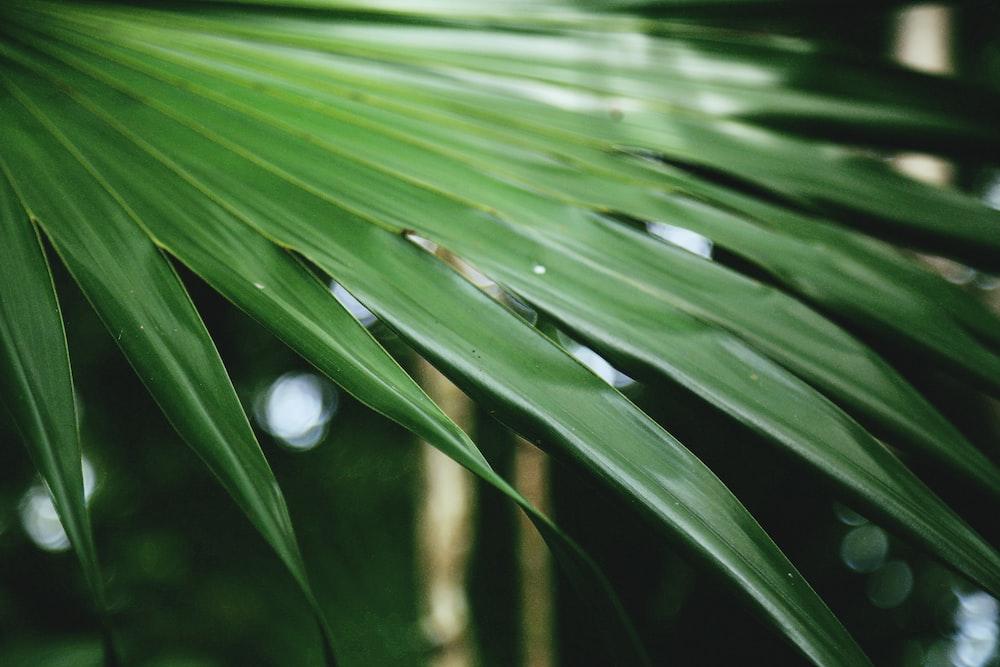 green fan palm lef