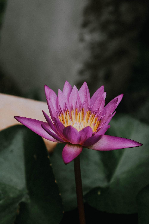 purple lili flower