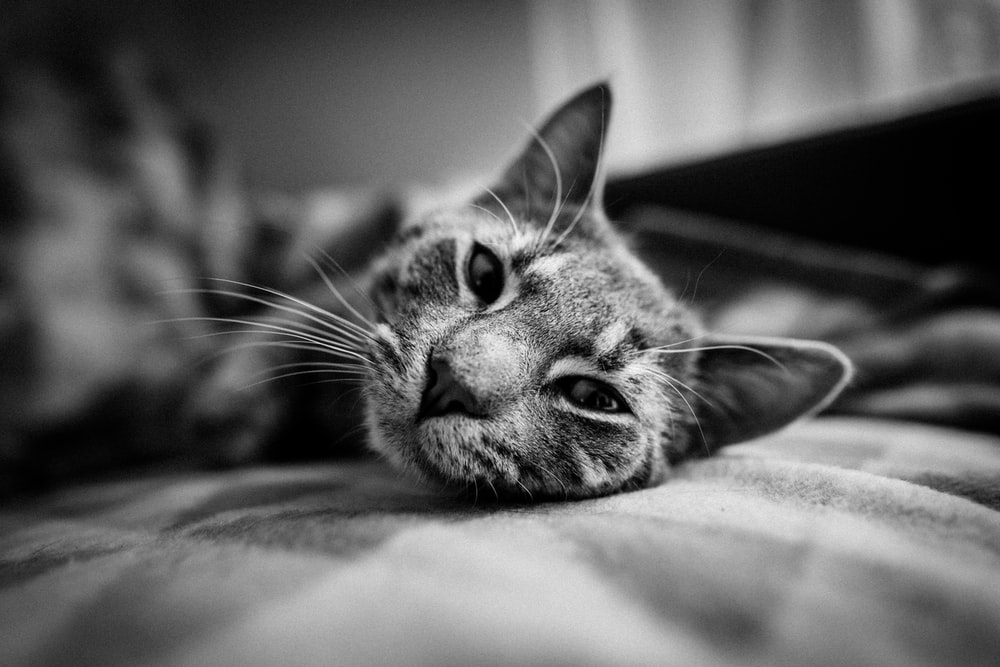 gray-scale photography of cat