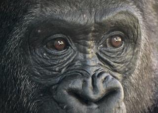 black gorilla
