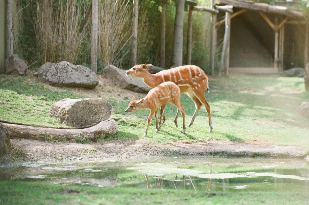 two deer near body of water