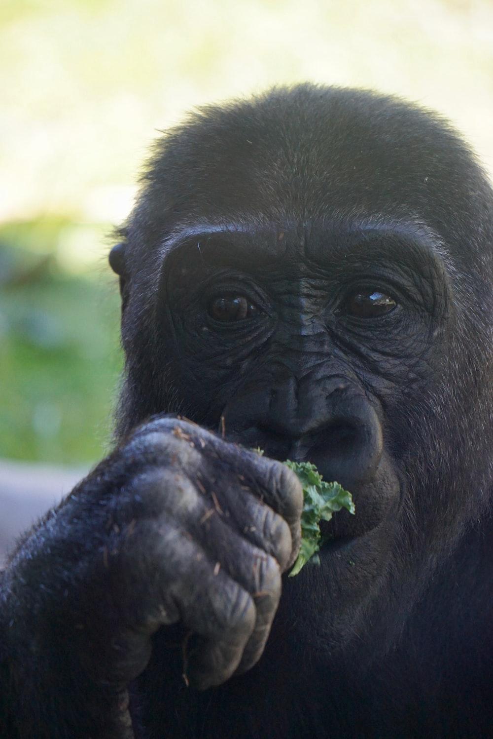 gorilla eating green leaf\