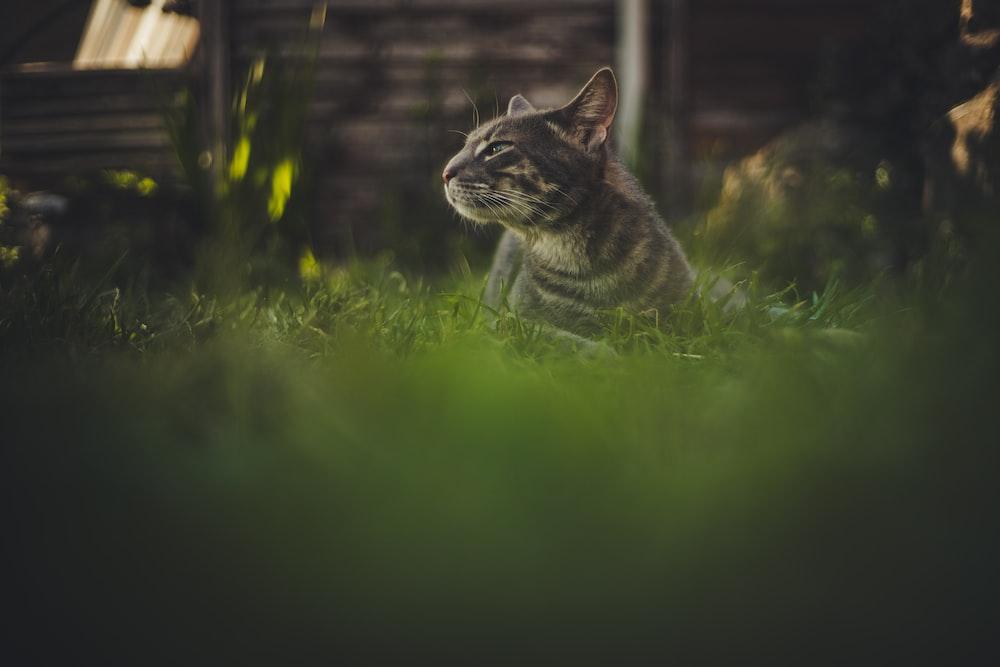 brown tabby cat on green field