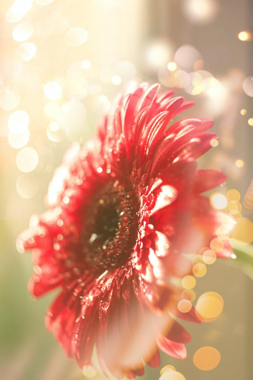 blooming red gerbera daisy flower
