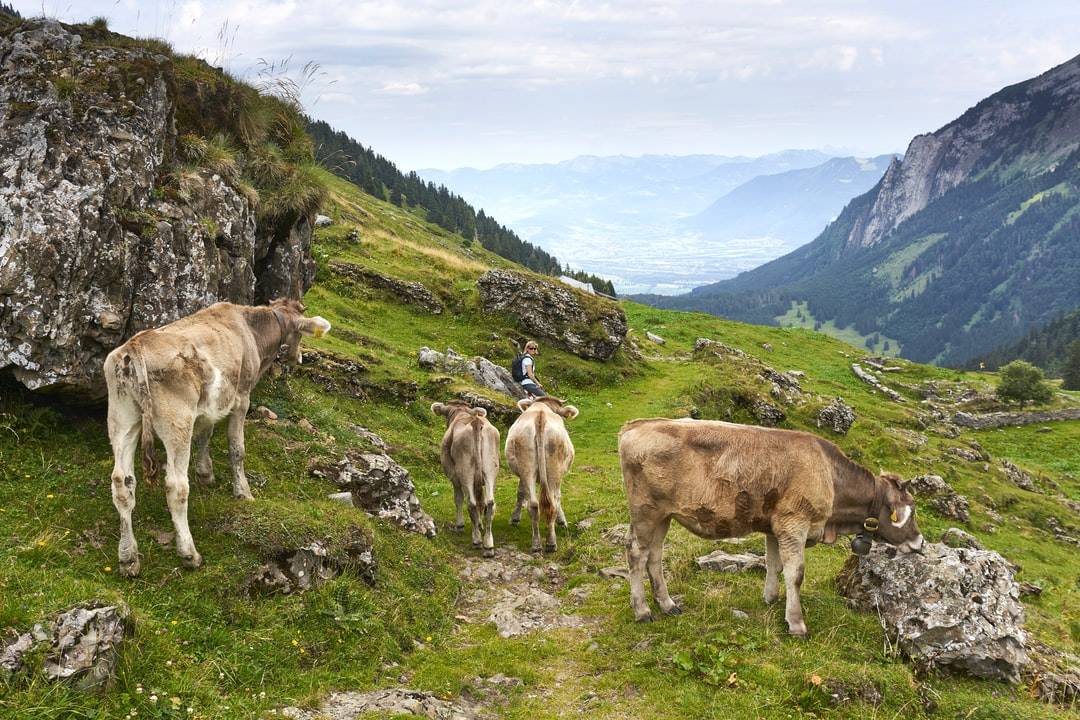 Young cows near the Voralpsee, Kanton St. Gall, Switzerland.