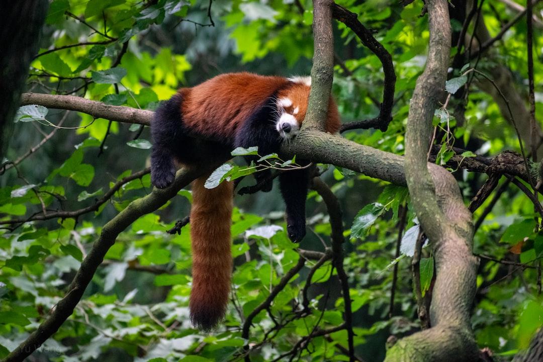 A sleepy lesser panda