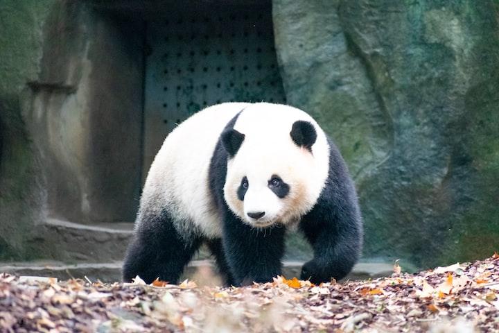 How to Volunteer with Pandas in Chengdu