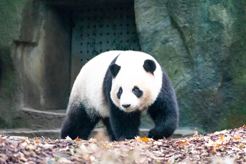 walking panda front of concrete building