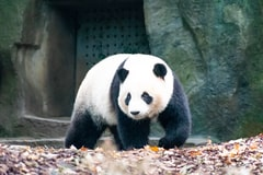 China Says Giant Pandas Are No Longer Endangered, but Still Vulnerable