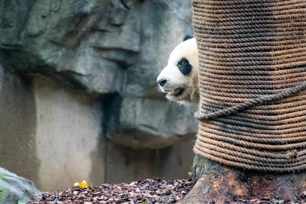 panda beside tree trunk