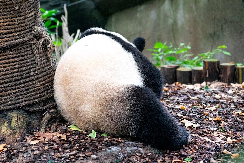 panda leaning on rope