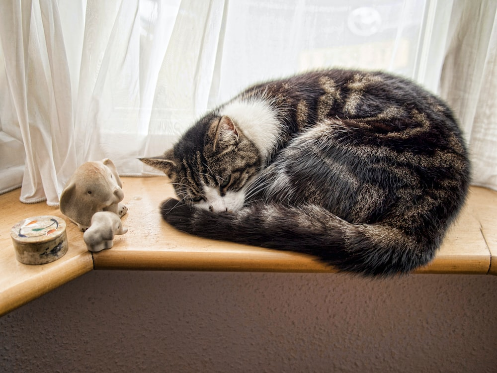 sleeping black and white cat beside window curtain