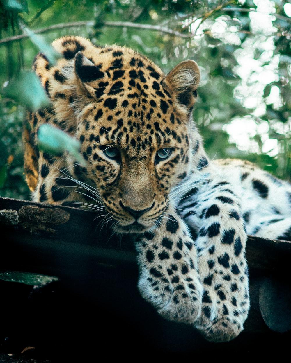 brown leopard near trees