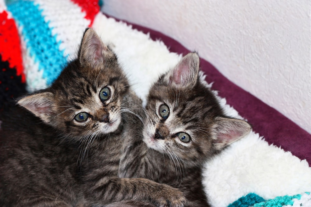 two brown tabby kittens on white textile