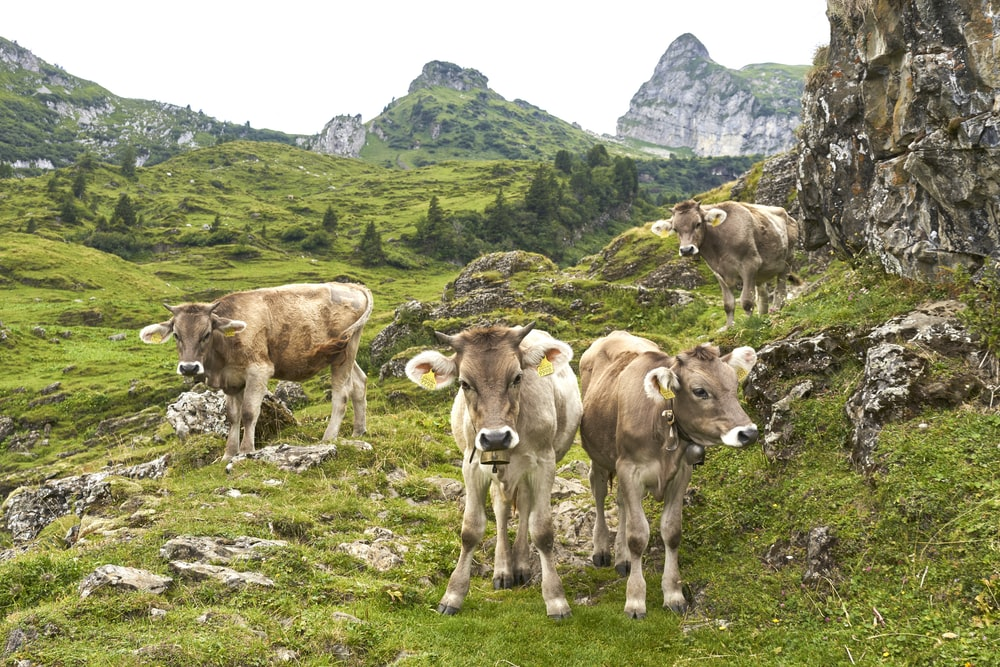 group of cows on hill