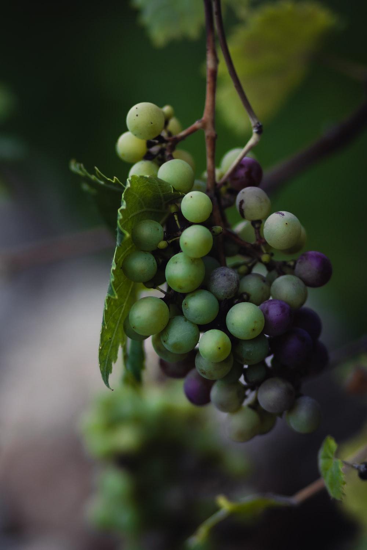 green and purple grape fruit