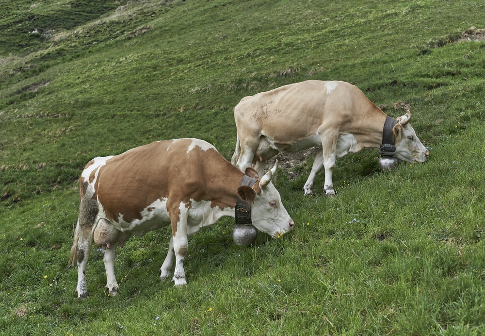 close-up photography of cattle