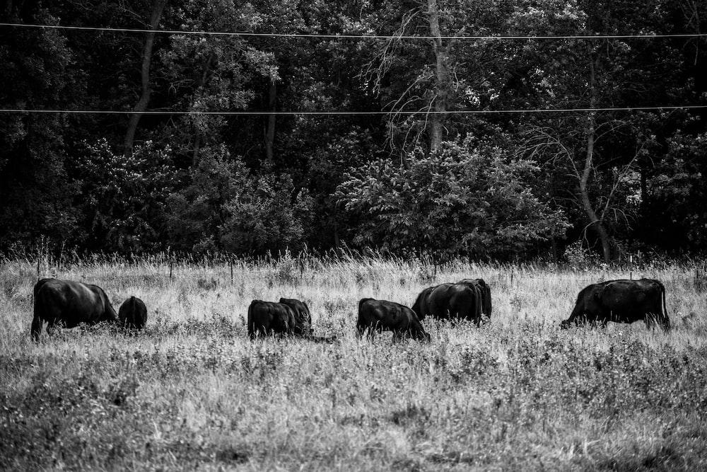 catles on field