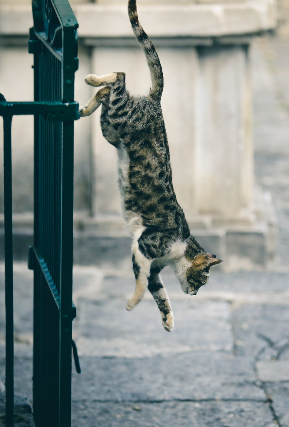 grey and white short-fur cat jumping down