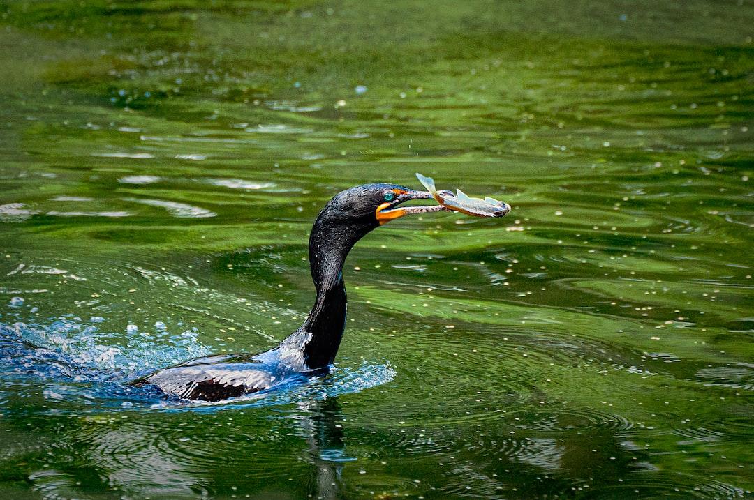 Cormorant fishing for dinner.