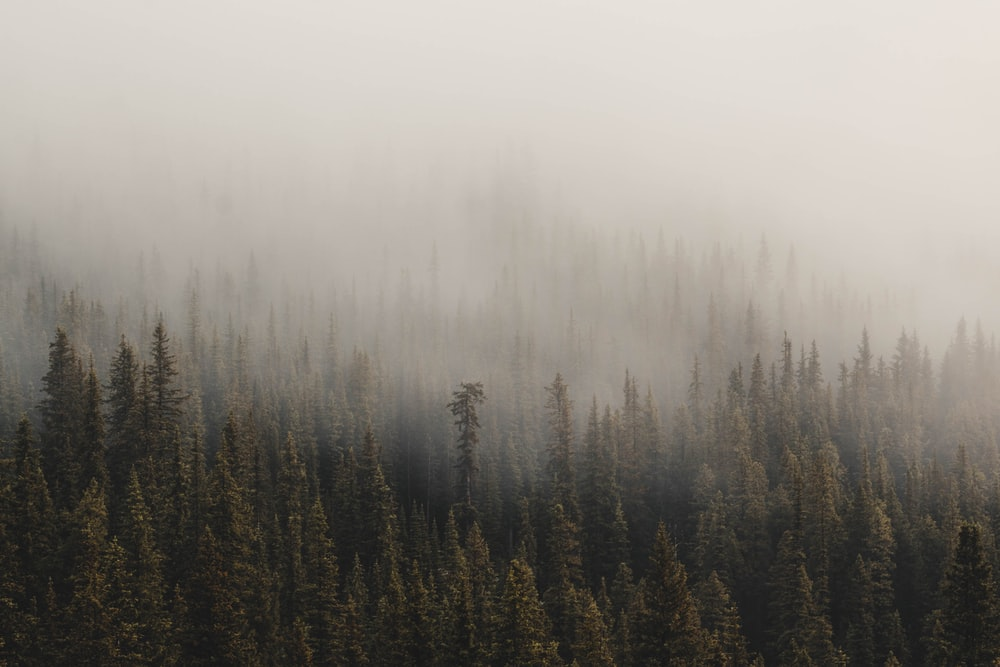 foggy pine trees