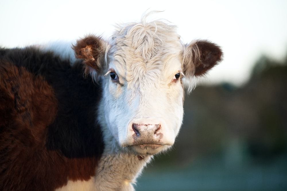 white and brown cow