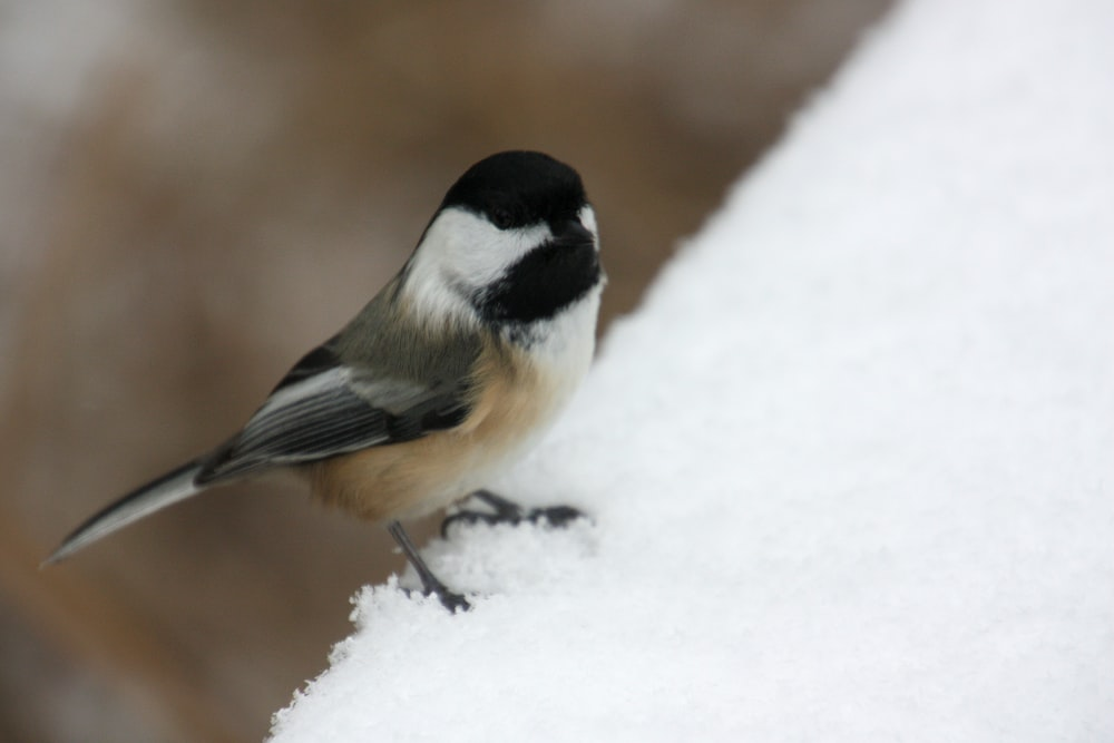 selective focus photo of black and white short-beaked bird