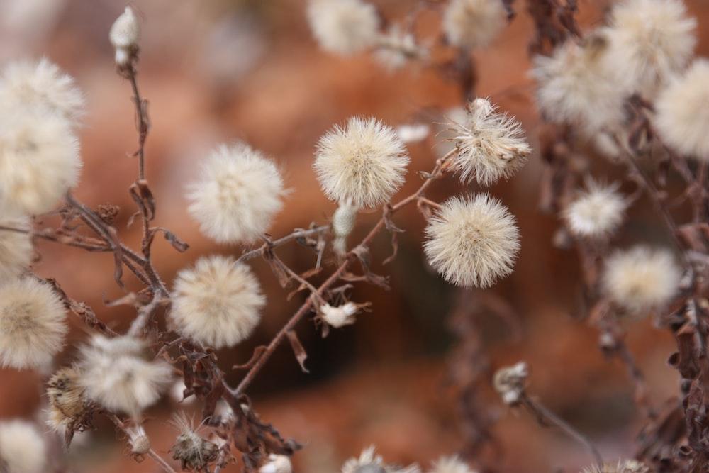 white dandelion fruits