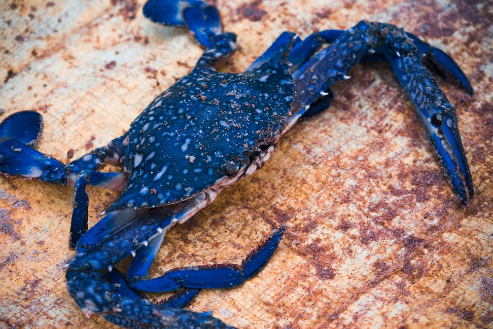 blue crab on brown surface