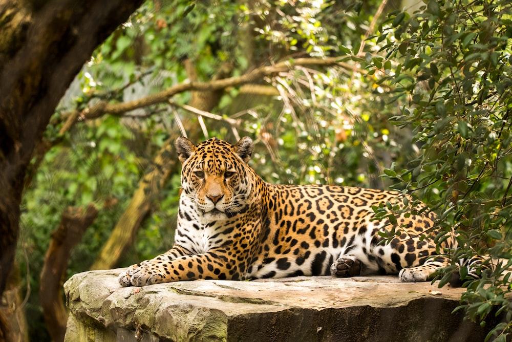 adult leopard lying on rock