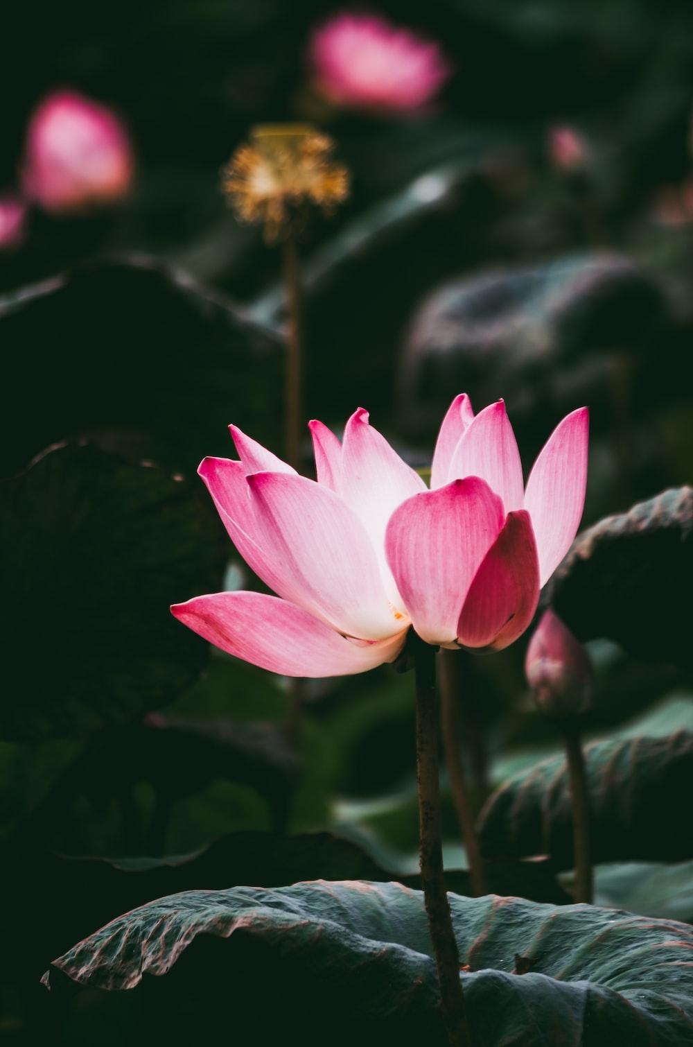 blooming pink lotus flowers