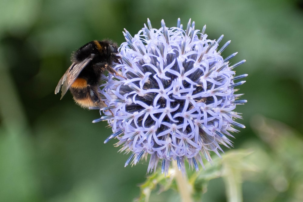 bumble bee perched on purple petaled flower selective focus photography