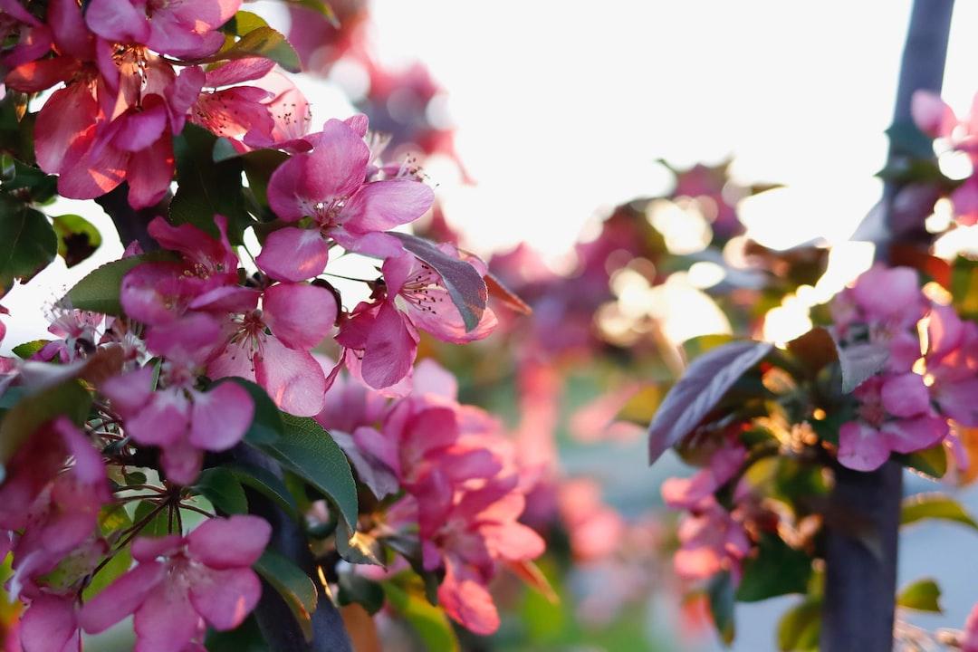 crabapple tree blossoms evening backlight