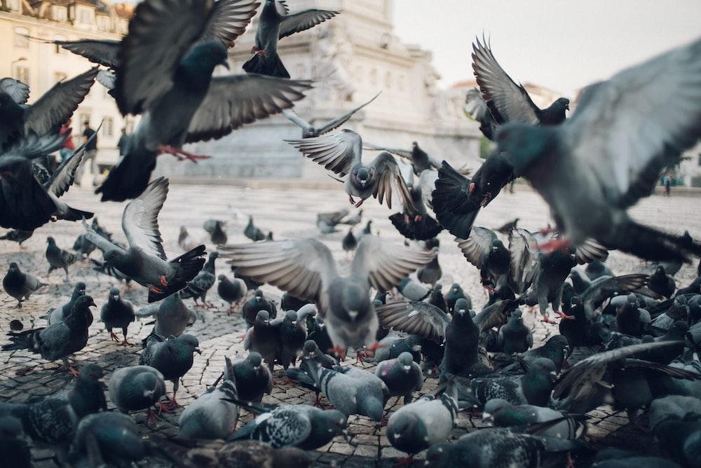 flocks of pigeons