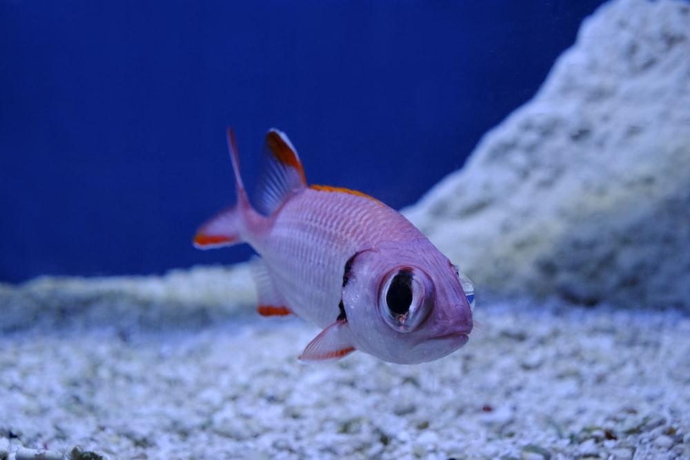 pink and gray fish