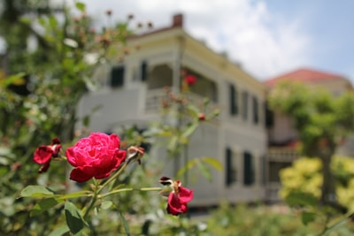 Rose bush in front of old home