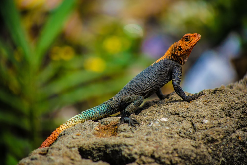 black and brown lizard on gray stone close-up photography