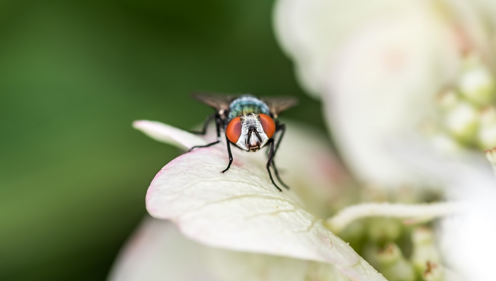 bottle fly perching on white flower