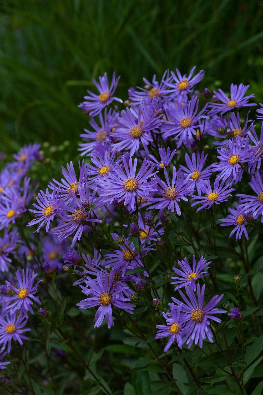 purple petale dflowers