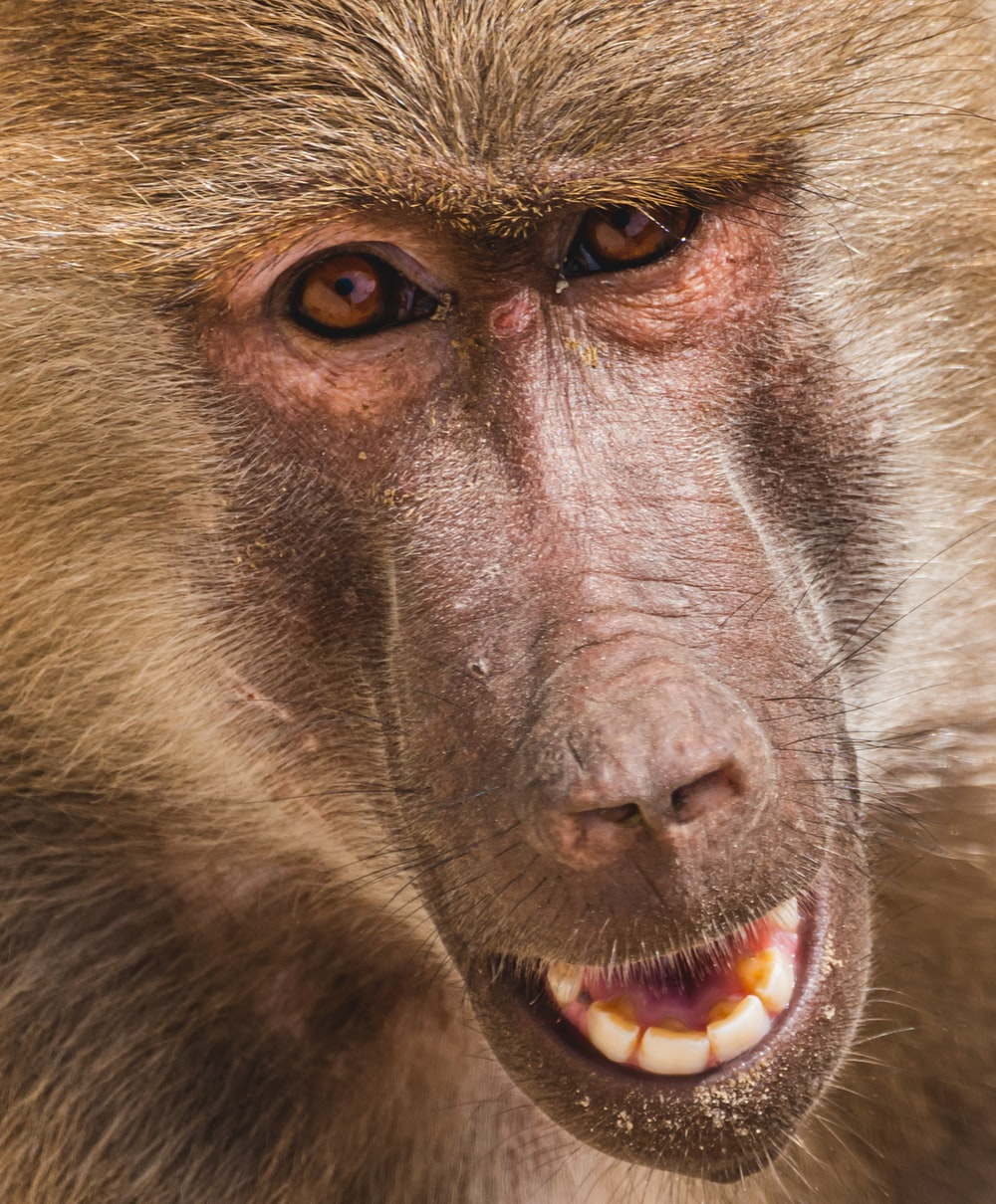 brown monkey face in close-up photo