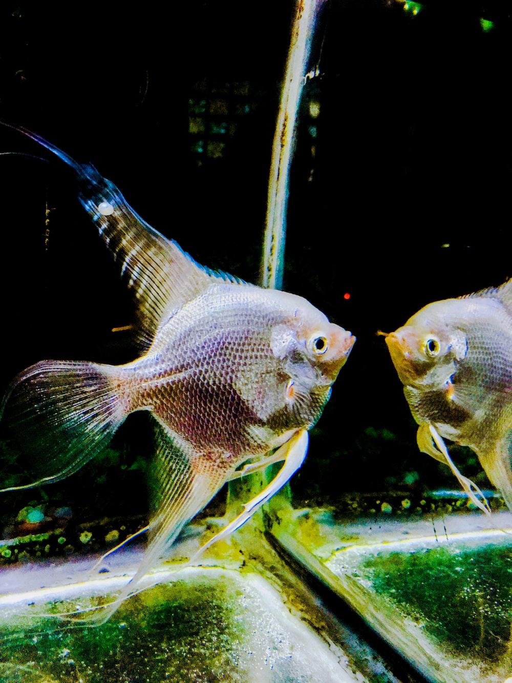 Silver Angelfish Photo Free Angelfish Image On Unsplash