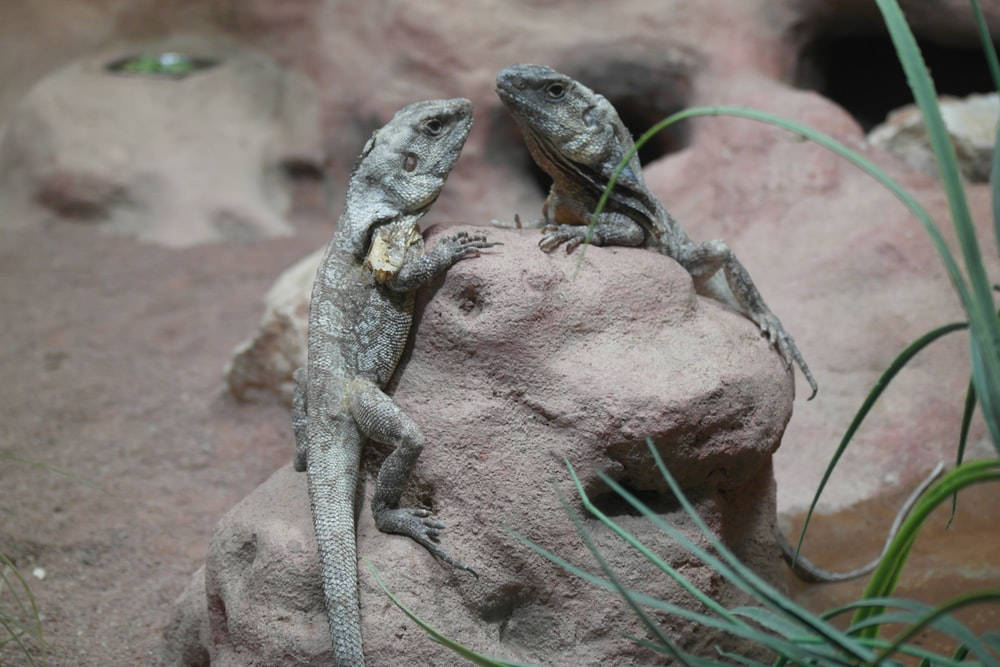 two gray lizards on rock